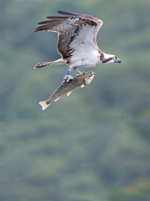 From March to September, see the Ospreys in and around Esthwaite Water, near Hawkshead, Ambleside, Lake District.